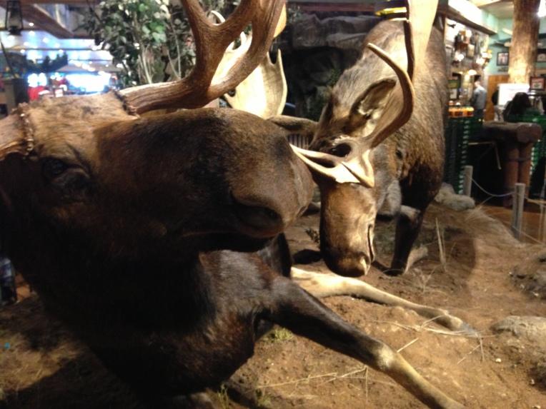 Moose in Alberta